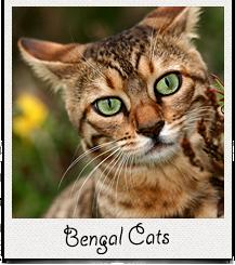 Информер с Бенгальскими кошками